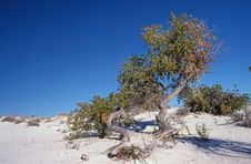 Free Cottonwood At White Sands Stock Photography - 2744692