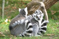 Free Lemurs Stock Images - 2744754