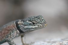 Free Spiny Lizard Profile Royalty Free Stock Photography - 2744927