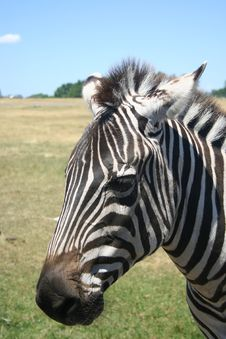 Free Zebra Stock Photos - 2745473