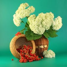 Free Hydrangea And  A Red Currant. Stock Images - 2745674
