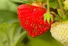 Free Strawberries In Garden Stock Image - 2746521