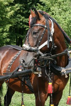 Free Horse In A Harness Royalty Free Stock Image - 2748436