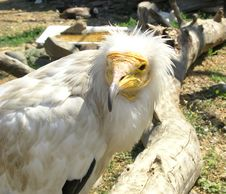 Free Scavenger Vulture Royalty Free Stock Photography - 2748947