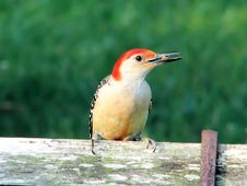 Free Woodpecker On Old Bench Stock Photography - 2749562