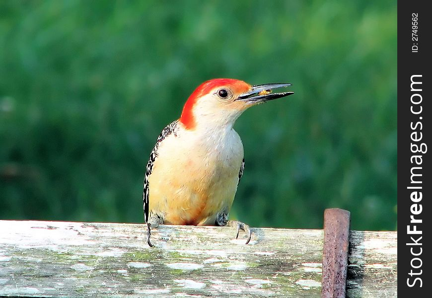 Woodpecker on old bench