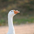 Free Domestic Goose With Feather In Its Nostril Royalty Free Stock Photo - 27401835