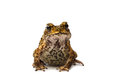 Free Closeup Toad Royalty Free Stock Photography - 27403787