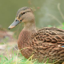 Cute Mallard Duck Close-Up Royalty Free Stock Photography
