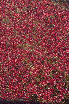 Food Grade Cranberries Floating In The Bog