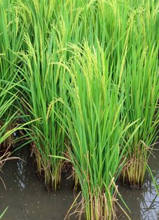 Free Green Paddy Royalty Free Stock Images - 27403719