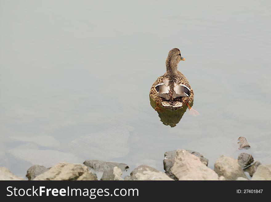 Mallard Duck Swimming Away from the Shore