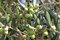 Free Olive Royalty Free Stock Photos - 27409218