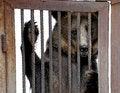 Free Bear Behind Bars Stock Images - 27412354