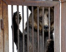 Free Bear Behind Bars Stock Images - 27412354