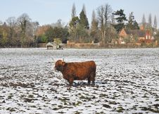 Free Longhorn Highland Cow Standing In The Snow Royalty Free Stock Photos - 27417708