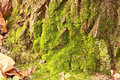 Free Moss On The Old Tree Royalty Free Stock Image - 27429236