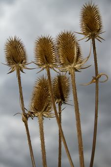 Free Thistles Royalty Free Stock Images - 27424669