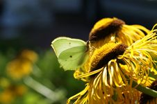 Free Brimstone Butterfly Royalty Free Stock Photography - 27427407