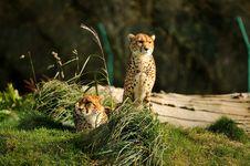 Free Cheetahs Royalty Free Stock Photos - 27427558