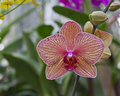Free Striped Phalaenopsis Orchid Stock Images - 27430064