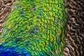 Free Close-up View Of Peacock Feather Royalty Free Stock Photography - 27436757