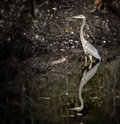 Free Blue Heron Stock Photography - 27438332