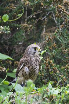 Free Kestrel Perched Amongst Bushes Royalty Free Stock Photos - 27430958
