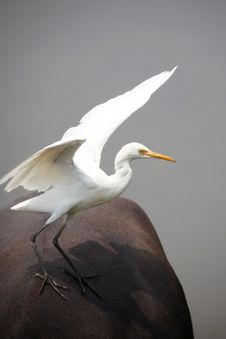 Free Egret On The Buffalo Royalty Free Stock Images - 27439509
