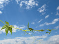 Free The Twig Of Virginia Creeper On The Sky Background Stock Images - 27440924