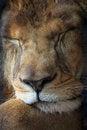 Free Lion Stock Image - 27442511