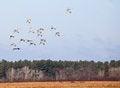 Free Sandhill Cranes In Flight Stock Image - 27445121