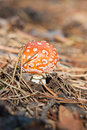 Free Young Amanita Mushroom Royalty Free Stock Photo - 27445825