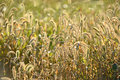 Free Grass In Wildnerness With Backlight Royalty Free Stock Photos - 27448948