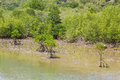 Free Mangrove Tree Royalty Free Stock Photo - 27449155