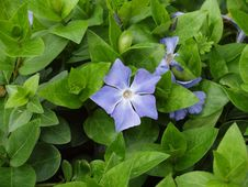 Free The Blue Periwinkle Royalty Free Stock Images - 27442519
