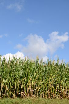 Free Cornfield Royalty Free Stock Image - 27444106