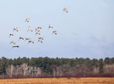 Free Sandhill Cranes In Flight Stock Image - 27445121