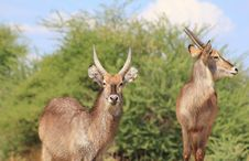 Free Waterbuck, African Antelope - Bull Brothers 2 Stock Image - 27445891