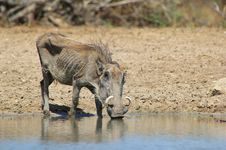 Free Warthog - Grandmother To Them All Royalty Free Stock Photos - 27445938