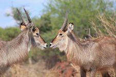 Free Waterbuck, African Antelope - Bull Brothers Royalty Free Stock Photo - 27446025