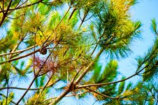 Free Pine Branch Royalty Free Stock Photo - 27446325