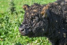 Free Galloway Cattle Stock Photography - 27447202