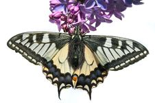 Free Butterfly Royalty Free Stock Photo - 27447345