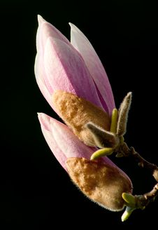 Free Budding Magnolias Royalty Free Stock Photography - 27448337
