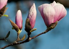 Free Magnolia Blossoms Royalty Free Stock Images - 27448339