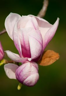 Free Magnolia Blossom Close-up Stock Photo - 27448360