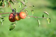 Red Apples Ripening Royalty Free Stock Photos