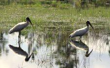 Free White Storks Stock Photo - 27449270