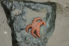 Free Starfish On A Rock Royalty Free Stock Photo - 27449275